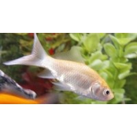 Goldfish White