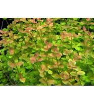 Bacopa Australis (Aquarium House Plant)