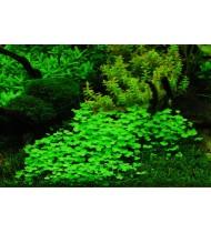 Hydrocotyle Tripartita (Aquarium House Plant)