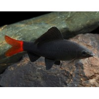 Black Shark Red Tail