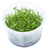 Proserpinaca Palustris 1-2-Grow! (Limited Edition)