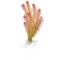 Rotala Wallichii Pot (Limited Edition)