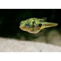 Freshwater Yellow Puffer Fish