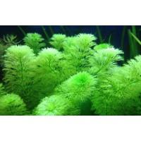 Limnophila sessiliflora (Aquarium House Plant)