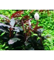 Bucephalandra sp. 'Red' (Aquarium House Plant)