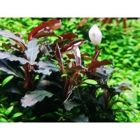 Bucephalandra sp. 'Red' (Aquarium House Plant)