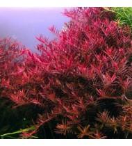 Rotala 'Vietnam H'ra' (Aquarium House Plant)