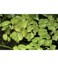 Salvinia auriculata (Aquarium House Plant)