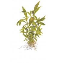 Hygrophila 'Siamensis 53B' Mini Pot