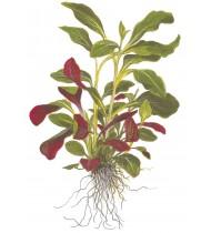 Lobelia Cardinalis Mini Pot
