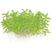 Bacopa Compact Pot