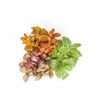 Fittonia Albivenis Mix (Red-White)