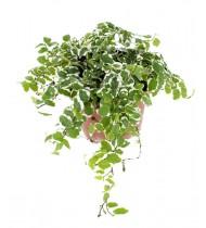 Ficus Pumila White Sunny