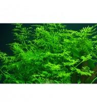 Ceratopteris thalictroides (Aquarium House Plant)