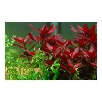 Ludwigia repens 'Rubin' (Aquarium House Plant)