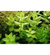 Bacopa Caroliniana (Aquarium House Plant)