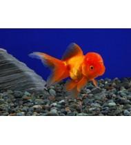 Goldfish Oranda Red/Black Lion Head 8-10cm