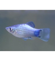 Platy Blue Mickey Mouse